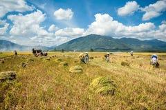 Coltivatori che raccolgono riso Immagine Stock