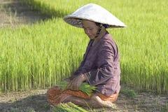 Coltivatori del riso in Tailandia del Nord Immagini Stock