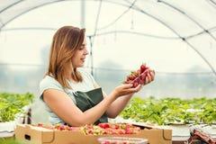 Coltivatori della fragola con il raccolto, ingegnere agricolo che lavora dentro Fotografia Stock Libera da Diritti