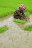 Coltivatori tailandesi che piantano riso Fotografia Stock