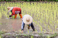 Coltivatori tailandesi che piantano riso Fotografie Stock