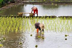 Coltivatori tailandesi che piantano riso Immagini Stock Libere da Diritti