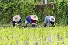 Coltivatori tailandesi che piantano riso Fotografie Stock Libere da Diritti