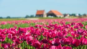 Coltivazione dei fiori del papavero colorati rosa scuro Fotografia Stock