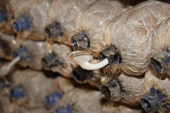 Coltivazione dei funghi di ostrica del Bhutan da uova in azienda agricola Fotografie Stock Libere da Diritti