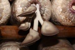 Coltivazione dei funghi di ostrica del Bhutan da uova in azienda agricola Immagini Stock Libere da Diritti