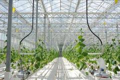 Coltivazione dei pomodori, dei cetrioli e di altre verdure in serre ed in serre nel Nord della Russia Agricoltura in Fotografia Stock