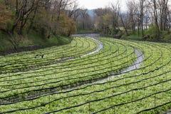 Coltivazione dei raccolti del wasabi Fotografie Stock Libere da Diritti