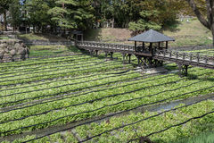 Coltivazione dei raccolti del wasabi Immagini Stock Libere da Diritti