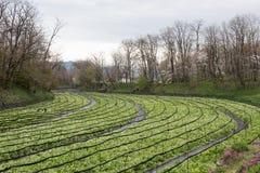 Coltivazione dei raccolti del wasabi Immagine Stock