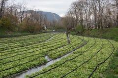 Coltivazione dei raccolti del wasabi Fotografia Stock Libera da Diritti