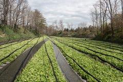 Coltivazione dei raccolti del wasabi Fotografia Stock