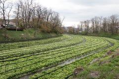 Coltivazione dei raccolti del wasabi Fotografie Stock