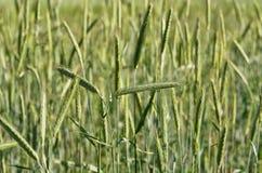 Coltivazione dei raccolti nei campi Fotografia Stock