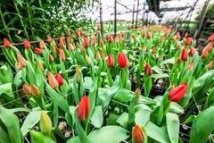 Coltivazione dei tulipani dei fiori in serra industriale Immagine Stock Libera da Diritti