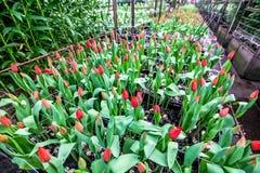 Coltivazione dei tulipani dei fiori in serra industriale Fotografia Stock Libera da Diritti