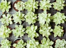 Coltivazione del cactus in conservato in vaso di plastica al mercato dell'albero Cactus Fotografia Stock