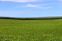 Coltivazione del cereale e della soia nel sud del Brasile Bei campi verdi che crescono parallelamente con il cielo blu come fondo Immagine Stock