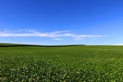 Coltivazione del cereale e della soia nel sud del Brasile Bei campi verdi che crescono parallelamente con il cielo blu come fondo Fotografia Stock Libera da Diritti