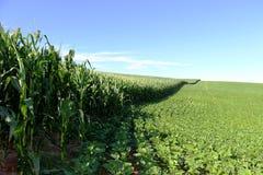 Coltivazione del cereale e della soia nel sud del Brasile Bei campi verdi che crescono parallelamente con il cielo blu come fondo Fotografie Stock