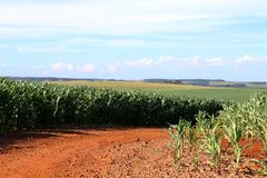 Coltivazione del cereale nel sud del Brasile Bei campi di grano verdi che crescono nelle file Fotografia Stock