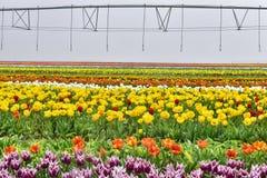 Coltivazione del fiore del tulipano Immagini Stock Libere da Diritti