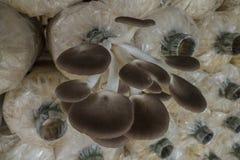 Coltivazione del fungo Fotografia Stock