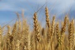 Coltivazione del grano nel sud del Brasile in un fondo del cielo blu Fotografia Stock