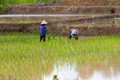 Coltivazione del riso Immagine Stock Libera da Diritti