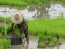 Coltivazione del riso Immagine Stock