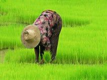 Coltivazione del riso Immagini Stock Libere da Diritti