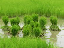 Coltivazione del riso Fotografia Stock