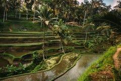 Coltivazione del riso in Bali, Indonesia Terrazzi del riso con il cielo che riflette durante l'ora dorata alla sera Fotografia Stock Libera da Diritti