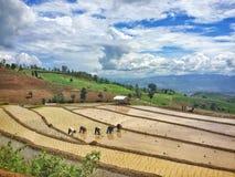 coltivazione del riso del trapianto Immagini Stock Libere da Diritti