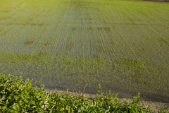Coltivazione del riso della regione montana fotografia stock libera da diritti
