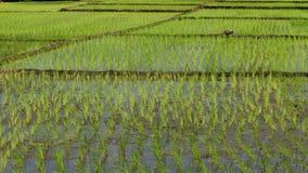Coltivazione del riso per fondo fotografie stock