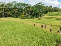 Coltivazione del riso su Bali, Indonesia Fotografia Stock Libera da Diritti