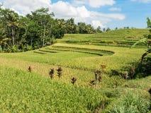 Coltivazione del riso su Bali, Indonesia Immagini Stock Libere da Diritti