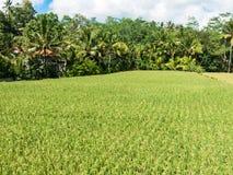 Coltivazione del riso su Bali, Indonesia Fotografia Stock