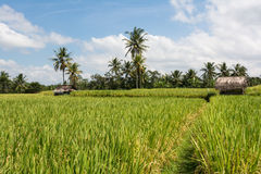 Coltivazione del riso su Bali, Indonesia Immagini Stock