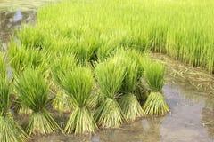Coltivazione del riso, Tailandia Fotografie Stock