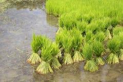 Coltivazione del riso, Tailandia Immagini Stock