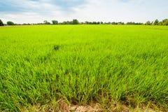 Coltivazione del riso in Tailandia del Nord Fotografie Stock Libere da Diritti