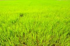 Coltivazione del riso in Tailandia del Nord Immagine Stock