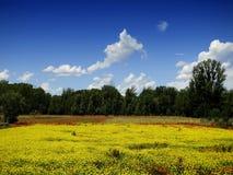 Coltivazione del seme di ravizzone sotto cielo blu immagini stock libere da diritti