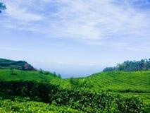 Coltivazione del tè su un'alta terra Fotografia Stock