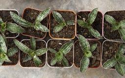 Coltivazione dell'aloe in conservato in vaso di plastica quadrato al mercato dell'albero Immagini Stock Libere da Diritti