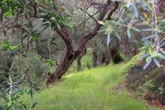 Coltivazione dell'oliva della Grecia Fotografia Stock Libera da Diritti