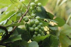 Coltivazione dell'uva nel Bangladesh Fotografia Stock