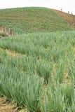 Coltivazione della cipolla organica della foglia - allium fistulosum Immagini Stock